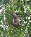 Ours paresseux de perezoso d'Oso Photos libres de droits