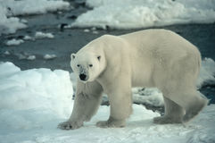 ours polaire Images libres de droits