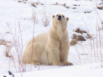 ours polaire photo libre de droits