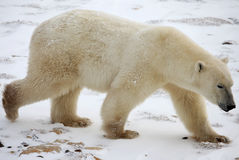 Ours Polaire - Polar bear. Ours polaire (Hudson Bay / Manitoba Royalty Free Stock Image