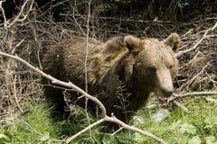 Ours sauvage dans la forêt images stock