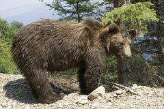 Ours sauvage dans la forêt photographie stock