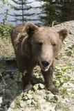 Ours sauvage dans la forêt photo stock