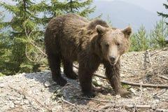 Ours sauvage dans la forêt images libres de droits