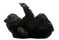 Ours sibérien femelle, 12 années, se trouvant Images libres de droits