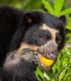 Ours Spectacled avec le fruit Photo stock