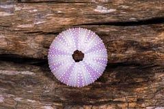 Oursin Shell image libre de droits