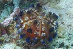 Oursin tropical coloré outre d'aumônier Purgos, Leyte, Philippines images stock