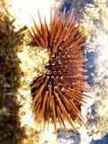 Oursin photos libres de droits