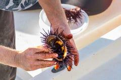Oursins d'ouverture sur le boatside Photos stock