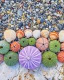 Oursins et coquilles colorés Photo stock