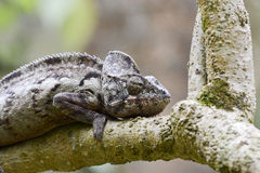 Oustalet's Chameleon (Furcifer Oustaleti) Stock Photos
