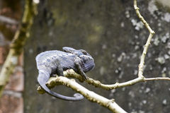Oustalet's Chameleon (Furcifer Oustaleti) Royalty Free Stock Photo