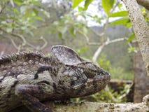 Oustalet's Chameleon (Furcifer Oustaleti) Stock Photography