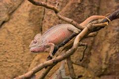 Oustaleti caméléon ou de ` géant malgache s Furcifer d'Oustalet, mâle images libres de droits