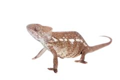 The Oustalets or Malagasy giant chameleon on white Royalty Free Stock Photo