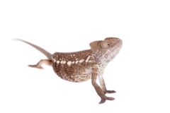 The Oustalets or Malagasy giant chameleon on white Stock Photo
