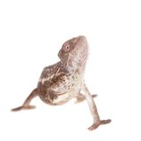 The Oustalets or Malagasy giant chameleon on white Stock Images
