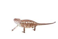 The Oustalets or Malagasy giant chameleon on white Royalty Free Stock Image