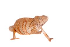 The Oustalets or Malagasy giant chameleon on white Royalty Free Stock Images