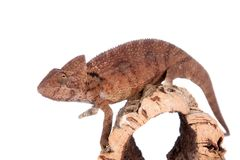 The Oustalets or Malagasy giant chameleon on white Stock Photos