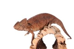 The Oustalets or Malagasy giant chameleon on white Stock Photography