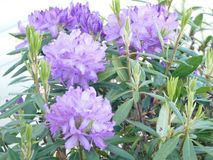Out in bloom. Four large rich purple flowers with rich green leaves Stock Photography