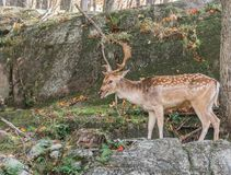 Out-of-Breath Young Deer Standing on a Rock Royalty Free Stock Photography