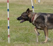 Dogs competition Stock Photography