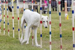 Dogs competition royalty free stock photography