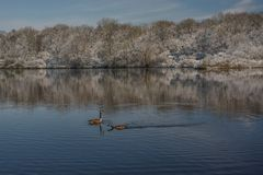 Out for a Cool Swim. A view of a pair of Canada Geese going for a swim on a local lake after a spring snow storm stock image
