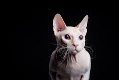 Out of the dark. Pink sphinx cat looking from the dark Stock Photography