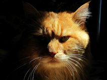 Out of the dark. A cat with serious intentions to govern Stock Photography