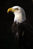Out Of The Darkness. Closeup of a Bald Eagle against a black background Royalty Free Stock Image