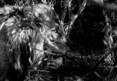 Out of the darkness. Male lion emerges from the African bush focussed on female in oestrus Royalty Free Stock Image