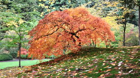 Out of Focus Blurred Background Red Laced Maple Tree with Covered Leaves on Mossy Ground in Autumn Season 1080p stock footage