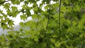 Out of Focus Blurred Green Maple Leaves Background and Texture HD Movie 1080p stock video footage