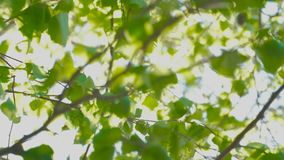 Out of focus footage Beautiful green nature with Sun shines through fluttering green leaves of birch. Out of focus footage Beautiful green nature with Sun stock video