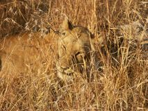 Out of focus lion royalty free stock images