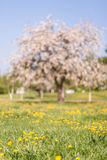 Out of focus spring apple blooming tree on green grass with dandelions Royalty Free Stock Images