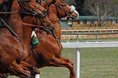 Out of the gates. Horses surge ahead as the starting gates open Stock Image