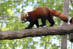 Out on a limb. Pretty red panda is taking a walk out on his limb...walk on the wild side stock images