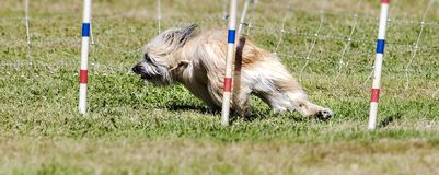 Dogs competition royalty free stock photo