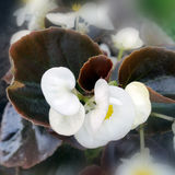 White and burgundy. White flowers with burgundy leaves Royalty Free Stock Photos