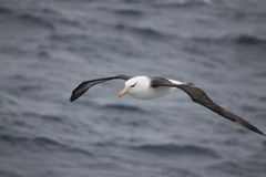 Wandering Albatross. Out at Sea the Wandering Albatross rides the aircurrents Royalty Free Stock Photo
