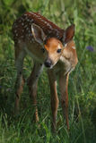 Out of the Shadows (Whitetail fawn) Stock Images