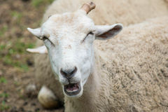 Out spoken. A sheep on a rural farm in  new England Stock Photo