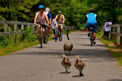 Out for a stroll on a local rail trail. Sunny biking ducks exercise trees Stock Photos