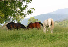 Out To Pasture. Horses grazing in a pasture in the Smoky Mountains Royalty Free Stock Photos