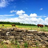 Out to pasture. Pasture of cows in middle tennessee stock photo